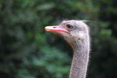 Ostrich. Closeup of a ostrich in shanghai zoo Stock Image
