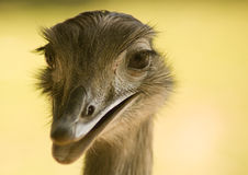 Ostrich. Portrait of an ostrich, showing head and part of the neck, with depth of field focused on the eyes stock photography