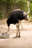 Ostrich. A big black ostrich eating in the Zoo Stock Photo