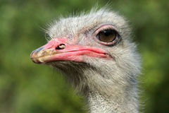 Ostrich. The head close-up of ostrich Stock Image