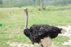 Ostrich Royaltyfria Bilder