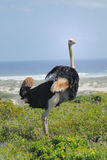 Ostrich. A South African Ostrich by the sea Royalty Free Stock Photography