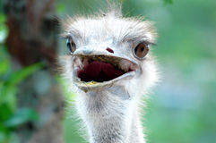 Free Ostrich Royalty Free Stock Photos - 119848