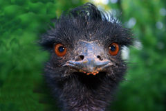 Ostrich. Close up of an Ostrich head Royalty Free Stock Images