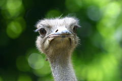 Ostrich. Is largest all birds, live in Africa, many zoos are breeding Royalty Free Stock Photos