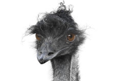 Free Ostrich Stock Photography - 12390122