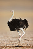 Ostrich. Wild male ostrich walking on rocky plains of etosha Royalty Free Stock Photography