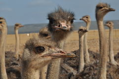 Free Ostrich Royalty Free Stock Photography - 12431107
