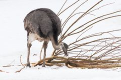 Ostrich. An ostrich in the snow Royalty Free Stock Photo