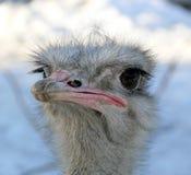 Ostrich. Head watching in zoo Jihlava in Czech republic Royalty Free Stock Image