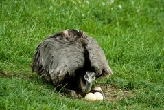 Ostrich. On the green grass with eggs Royalty Free Stock Photography