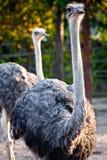Ostrich. Big Bird in thailand Stock Photos