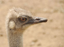 Ostrich. Close up of an ostrich Stock Image