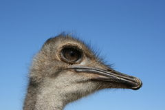 Ostrich Royalty Free Stock Photography