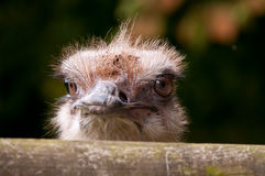 Ostrich. Looking over a timber fence royalty free stock photography