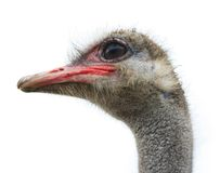 Ostrich. Head of an ostrich on a white background Stock Photography