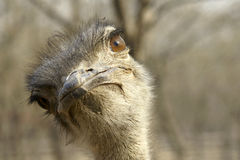 Free Ostrich Stock Images - 18796784