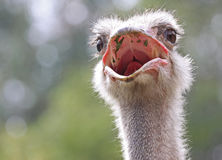 Ostrich. Close Up Of Ostrich Head Looking At Viewer With Open Mouth Royalty Free Stock Image