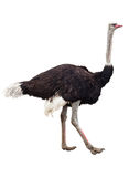 Ostrich. Image of the ostrich isolated on white Stock Photography
