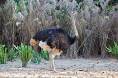 Ostrich 2 Stock Photos