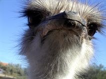 Ostrich. South African ostrich. Close up of the head Stock Photo