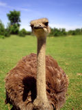 Ostrich. Head over a natural scene Stock Photography