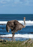 Ostrich. Wild ostrich by the ocean in South Africa Stock Photo