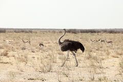 Ostrich. Walking, Namibia national park Stock Photos