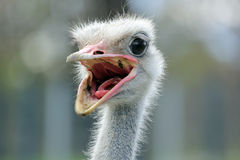 Ostrich. Blue-necked Ostrich closeup with mouth open - Struthio camelus australis Royalty Free Stock Photos