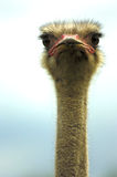 Ostrich. Head of an ostrich looking into the camera Royalty Free Stock Image