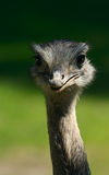 Ostrich. Looking in camera. (close up stock photo
