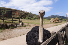 A Ostrich Royalty Free Stock Photography