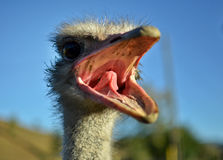 Ostrich. A furiously looking ostrich head Royalty Free Stock Image