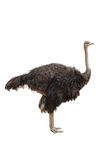 Ostrich. Closeup of Ostrich bird over white Stock Image