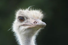 Ostrich. Close-up of the head Stock Photos