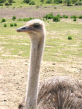 Ostrich 3. Ostrich from an ostrich farm in Santa Barbara, California. Image taken in April of 2005 with an OLYMPUS C-5060 Zoom Digital Camera Stock Images