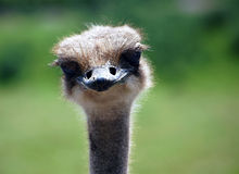 Ostrich. Close-up portrait of an Ostrich staring at the camera Royalty Free Stock Photos