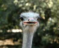 Ostrich. Face Stock Image