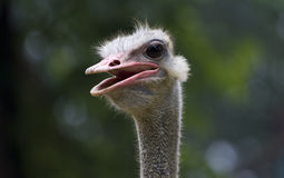Ostrich. Close-up in nature Royalty Free Stock Images