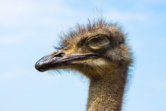 Free Ostrich Royalty Free Stock Photos - 40329558