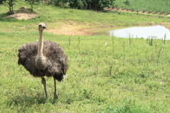 Ostrich. On green farm land royalty free stock images