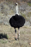 Ostrich Stock Photo