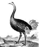 Ostrich royaltyfri illustrationer