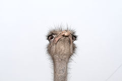 The ostrich Royalty Free Stock Photography