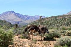 Ostrich Arkivbilder