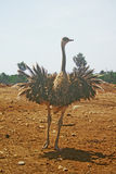Ostrich. Running with wings out royalty free stock photo