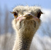 Ostrich 6 Stock Photo