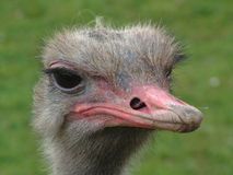 Ostrich. Head of ostrich stock images