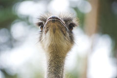 Ostrich. The portrait of proud ostrich Stock Image