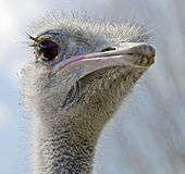 Ostrich 7 Stock Image